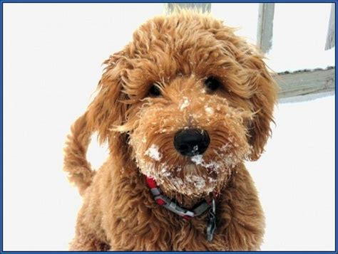 hypoallergenic dogs that don t shed 26 best images about ci ni on perler poodles and sheds