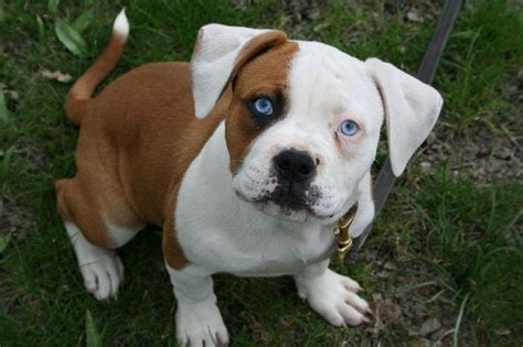 american bull puppies american bulldog puppies facts