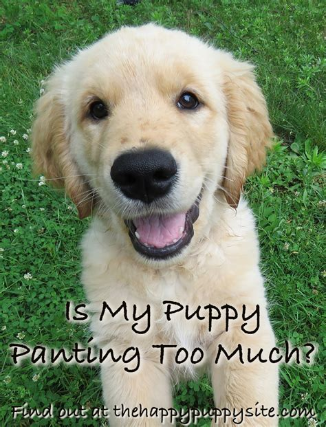 panting for no reason why do dogs pant a complete guide to panting