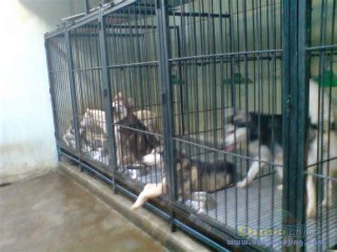 Jual Hair Dryer Anjing dunia anjing jual anjing siberian husky jual indukan