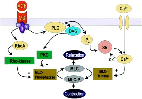 4 proteins involved in contraction pharmacology of the lower urinary tract basis for current