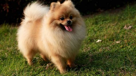 pomeranian with pomeranian my rocks