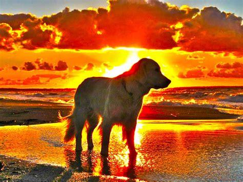 sunset golden retrievers new golden retriever puppy wallpaper