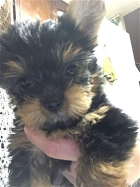 yorkie puppies for sale in scranton pa view ad terrier puppy for sale pennsylvania scranton
