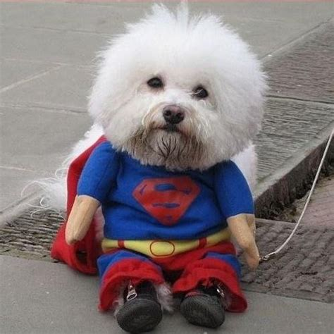 yorkie superman costume apparel new superman cat or costume was sold for r100 00 on 24 aug at