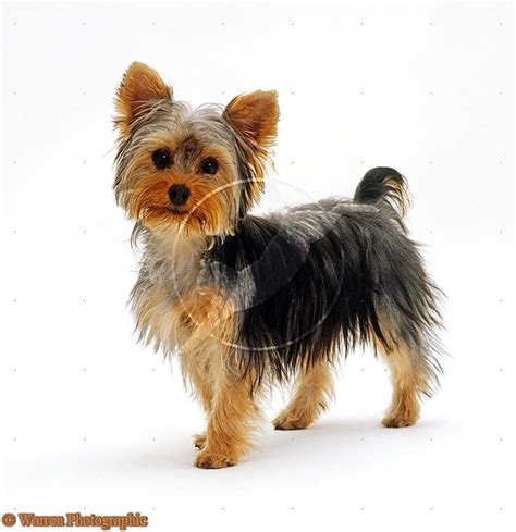 bulldog yorkie puppy dogs terrier puppies
