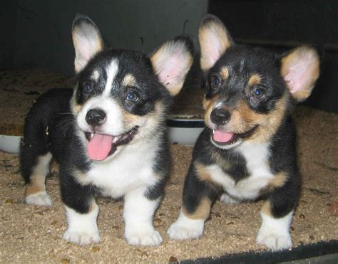 Corgi Puppy PicturesCorgi Puppy Pictures