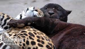 Are Jaguars And Panthers The Same Are Panthers And Jaguars The Same Thing How About