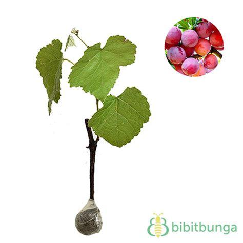 Bibit Anggur Prince tanaman anggur merah lokal bibitbunga