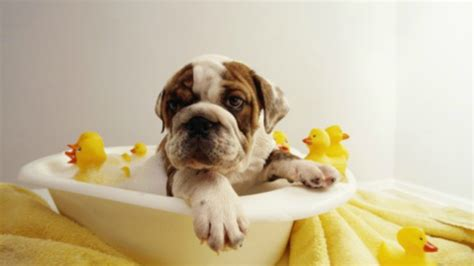dogs bathtub dog bathing baggybulldogs