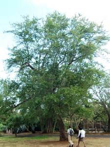 picture of a tree file pithecellobium dulce tree jpg wikipedia