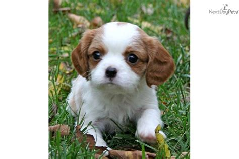 st charles cavalier puppy cavalier king charles spaniel for sale for 985 near st louis missouri 08a36c17 d6e1