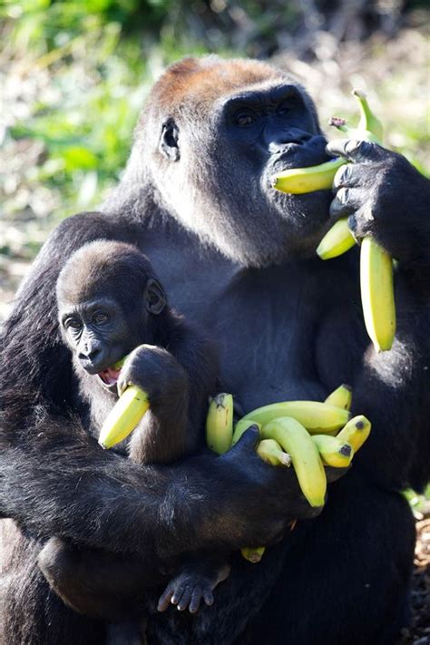 Painters Near Me by Baby Gorilla Kituba Snuggles Up With His Mum At Dublin Zoo