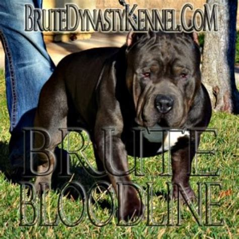 pitbull puppies los angeles brute dynasty kennel american pit bull terrier breeder in los angeles california