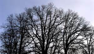 images of trees file bare trees jpg