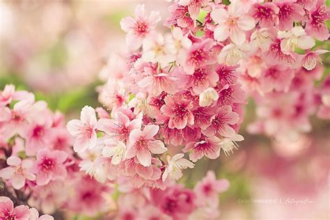 wallpaper bunga sakura for android gambar bunga sakura wallpaper bunga sakura cantik