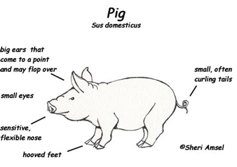 pig diagram pin pigs diagram on