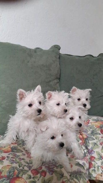 westie puppies for adoption shih tzu westie rescue breeds picture