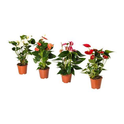 ikea vasi piante anthurium pianta da vaso ikea