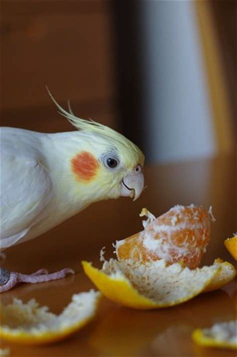 17 best images about parrot recipes and nutrition on