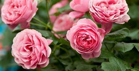 rosa d inverno fiore 10 piante fioriscono in primavera greenme