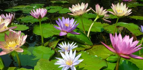 Easy Plants Sunlandwatergardens Com Pond Supplies Pond Plants