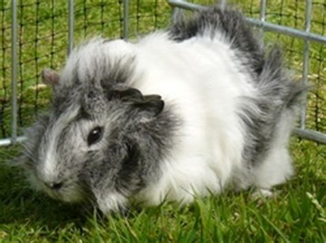 pug rescue sussex 17 best images about rescue guinea pigs rabbits on coats guinea pigs