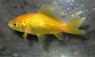, fancy and such .. on Pinterest   Goldfish, Bristol and Fish