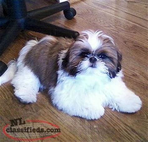 shih tzu puppies for sale scotia shih tzu in need of loving home st johns newfoundland