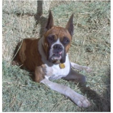 boxer puppies california gold buckle kennel boxer breeder in hemet california