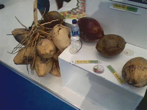 Bibit Kelapa Kopyor Di Jakarta bisnis kelapa kopyor 10 kali lebih mahal dari kelapa biasa