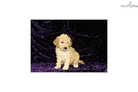 mini goldendoodles jacksonville fl goldendoodle puppy for sale near jacksonville florida