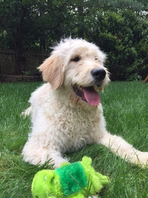 View Ad Goldendoodle Puppy For Sale Virginia Reston Usa