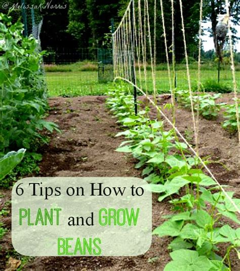 25 best ideas about growing green beans on pinterest planting green beans growing beans and