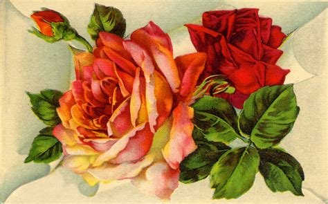 old roses vintage botanical graphics old fashioned roses