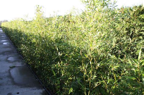 Bambus Als Heckenpflanze 834 by Bambus Als Heckenpflanze Roter Bambus 140 150cm