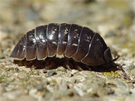 doodle bug scientific name armadillidium vulgare