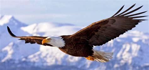 Aquila Hitam masyarakat kayong utara serahkan burung elang hitam