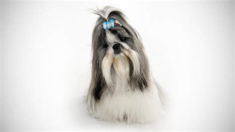 shih tzu festival who is from fuccillo commercials
