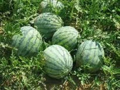 Jual Benih Daun Ketumbar anim agro technology harga benih part 4