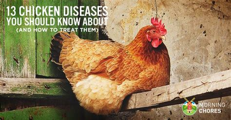 13 common chicken diseases you should and how to