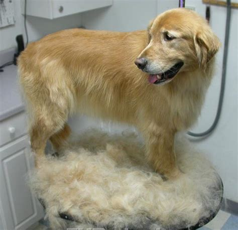 golden retriever smelly coat coats not always quot cool quot in summer collie and pet grooming