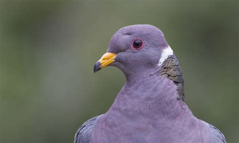 band tailed pigeon birds of north america online