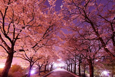 cherry blossoms spring s almost here the most amazing cherry blossom