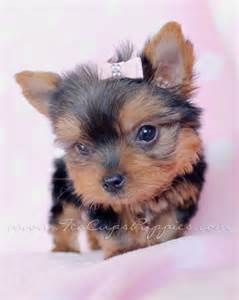 photos of teacup yorkies 100 best images about puppies by teacups puppies and
