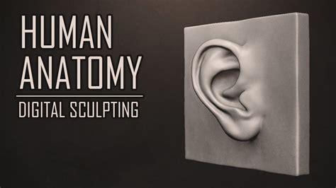 zbrush tutorial ear zbrush human anatomy ears 3d knowledge pinterest