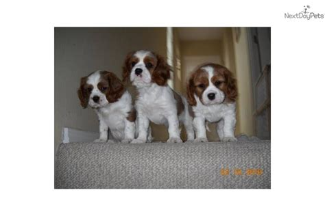 puppies for sale in santa fe nm cavalier king charles spaniel for sale for 1 250 near santa fe taos new mexico