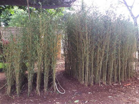 jual bambu klisik china tanaman hias tanaman pelindung