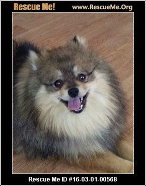 pomeranian rescue sc 17 best ideas about pomeranian rescue on pomeranians pomeranian puppy and