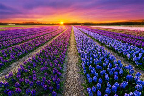 wallpaper flower field amazing flower fields download hd wallpapers flower